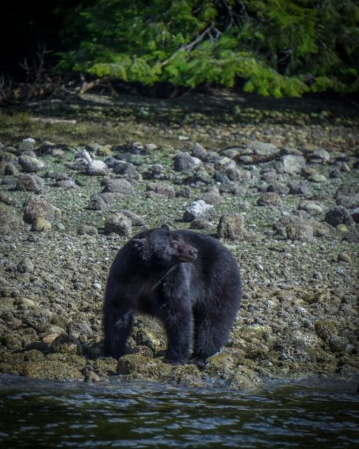Vancouver Island Black Bear Chris Istace Trans Mountain Pipeline Environment