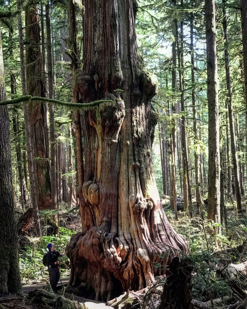 Ancient Old Growth Forests Port Renfrew Vancouver Island Avatar Grove